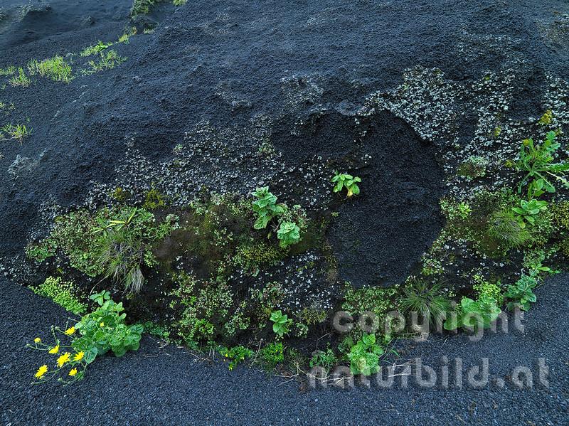 Bewachsener Lavafelsen, Pionierpflanzen, Insel Pico, Azoren, Portugal,