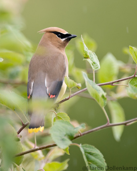 Cedar Waxwing, Reifel Bird Sanctuary