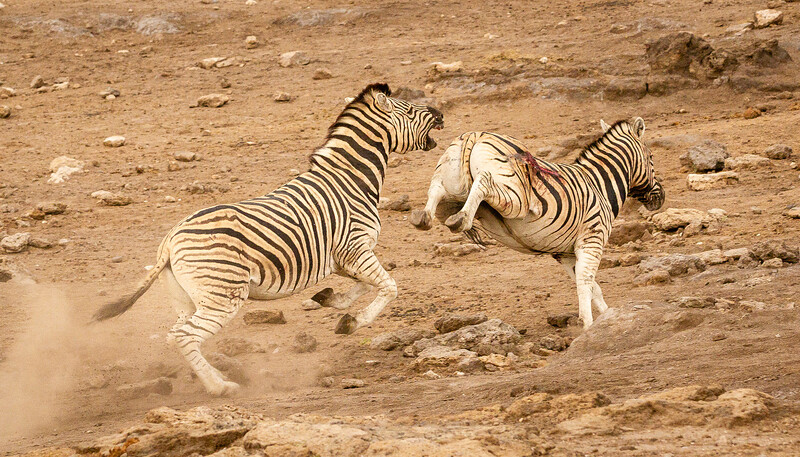 Zebra battle 3