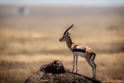 Thomsongaselle (Thomson's gazelle)