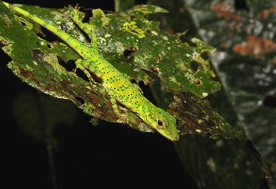 Anoles (Polychrotidae)