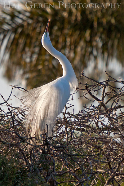 Great Egret male flaunting it Newark, California 1304N-GE1