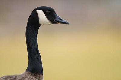 Geese (Anatidae)