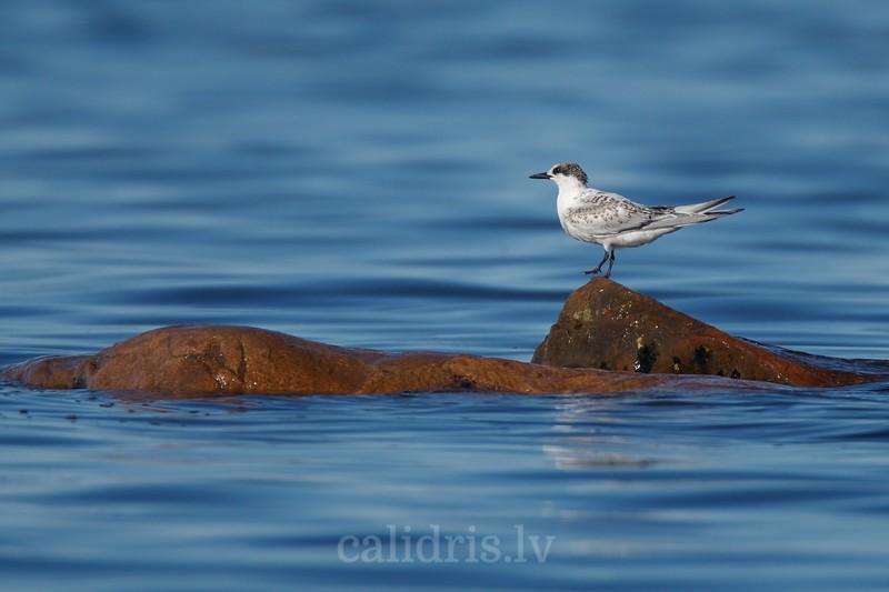 Sandwitch Tern (juvenile) rests on a rock / Cekulzīriņš (jaunais putns) atpūšas uz akmens