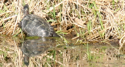 A Yellow-belied Slider on the banks of the pond located on the north end of the Lake Land College campus on Monday, March 16, 2009. (Jay Grabiec)