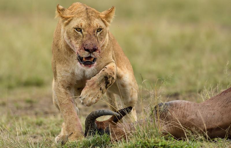 Lioness-topi-kill-mara.jpg