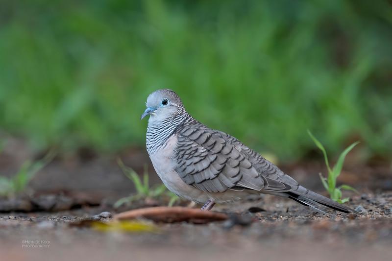 Peaceful Dove, Townsville, QLD, Jan 2020-2.jpg