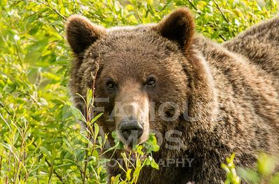 Grizzly Bear , Tumbler Ridge BC Area