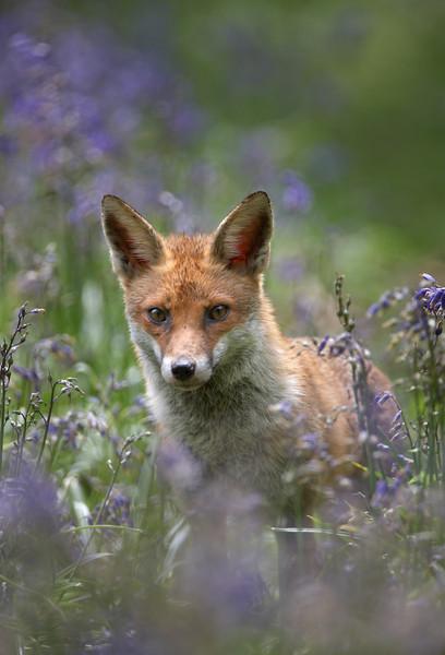 001 Fox - 0174.jpg