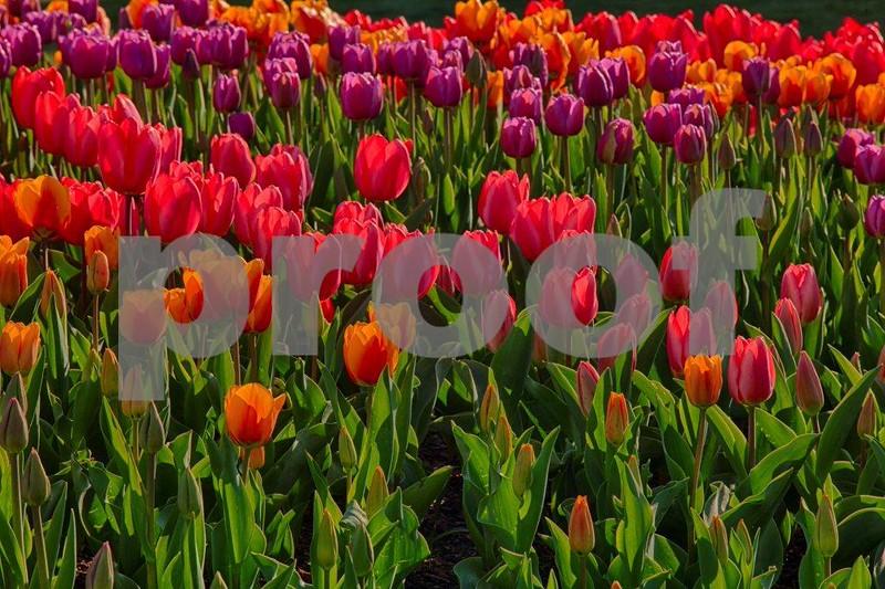 Tulips, Skagit 3989_HDR.jpg