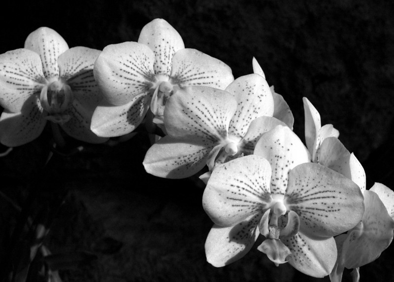 orchid5x7bw.jpg