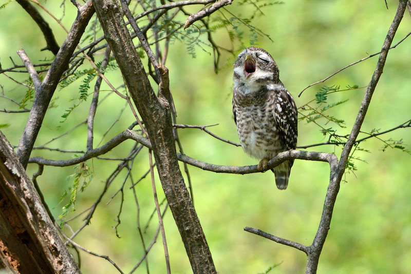 Spotted-Owlet-Yawning.jpg