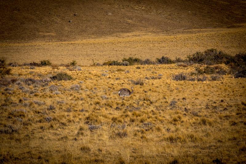 Patagonian Rhea Argentina-1.jpg