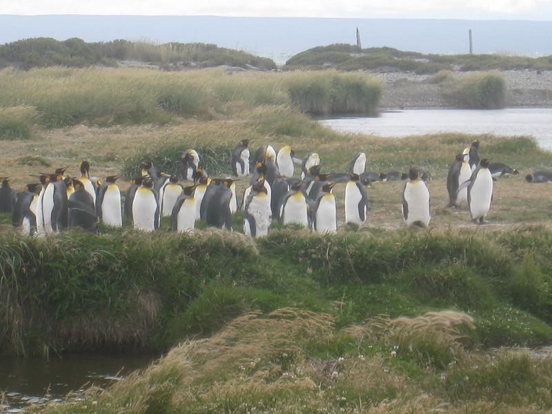 Seno Otway penguins-1