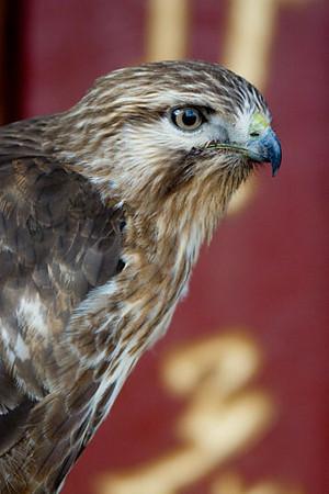 Hawk 2.jpg