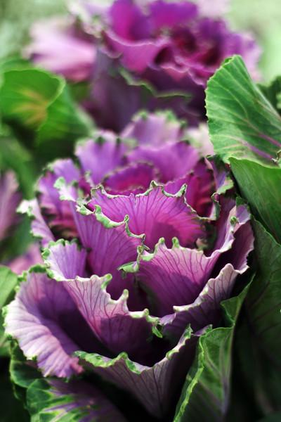 Purple Kale.jpg