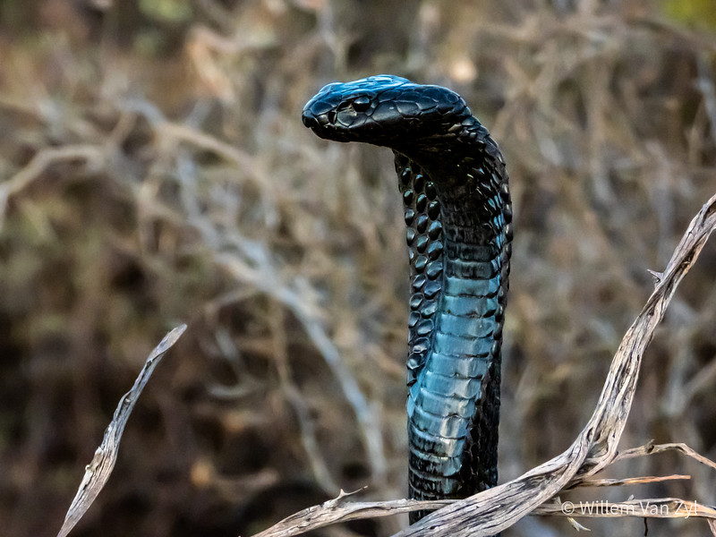 20200127 Black Spitting Cobra (Naja nigricincta woodi) from the Cederberg, Western Cape