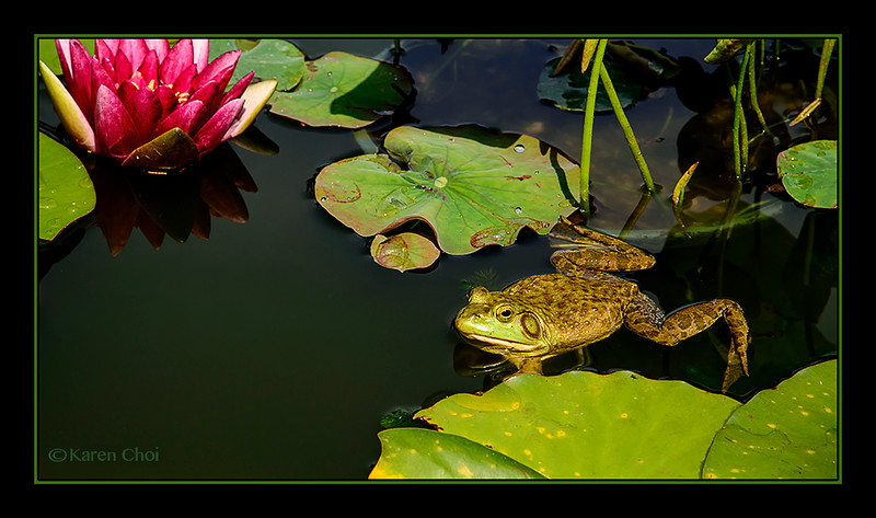 sm Frog in a lilly pond.jpg