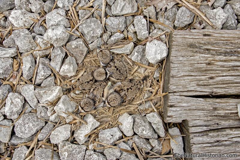 Killdeer-fledglings-4-in-nest-railroad-tracks2.jpg
