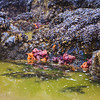 Colorful Starfish Observed in Tidepools off Cannon Beach on the Oregon Coast