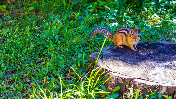 Chipmunk Perched on a Tree Stump