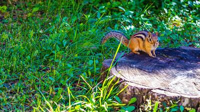 Chipmunk Perched on a Tree Stump