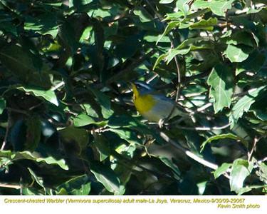 CrescentChestedWarblerA29067 copy.jpg