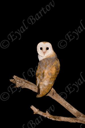 Owls - דורסי לילה