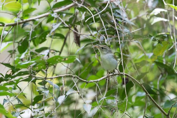 Ijima's Leaf Warbler