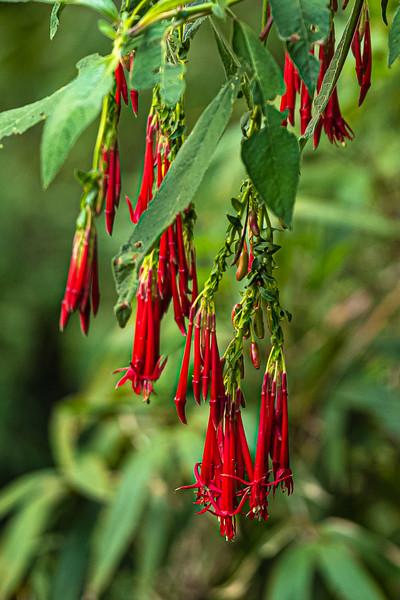 hanging red flowers.jpg
