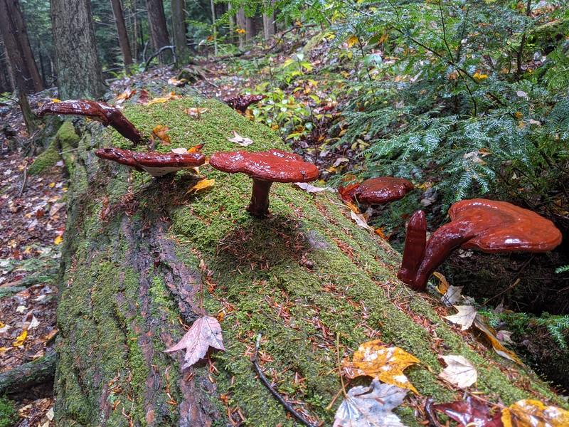 Hemlock Varnish Fungi