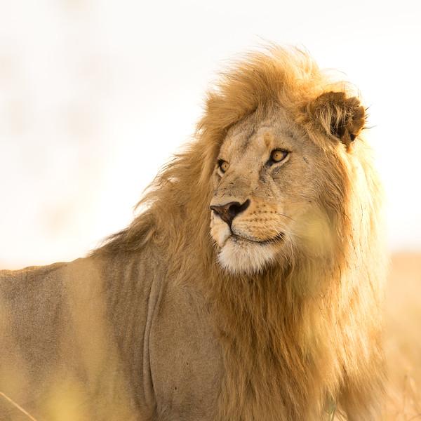 Serengeti Lion - Tanzania