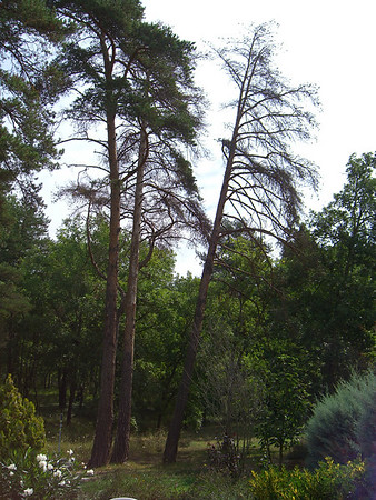 trees to be felled August 2006