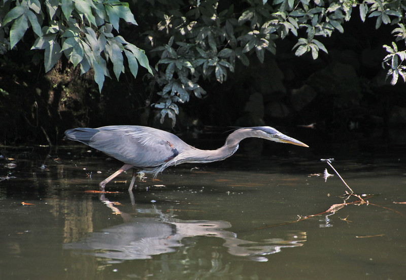 Great Blue Heron with dragonfly