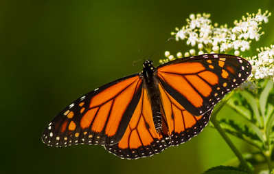 Monarch (Danainae)
