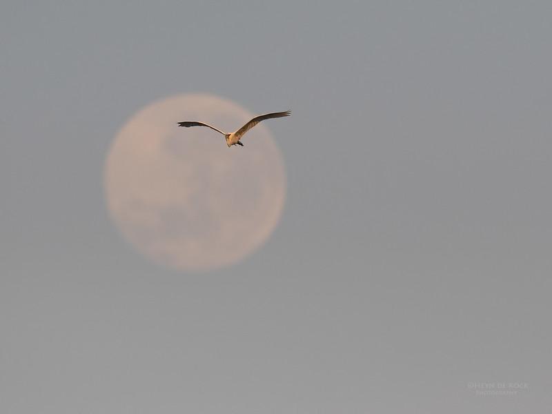 Great Egret, Chobe River, NAM, Oct 2016-2.jpg