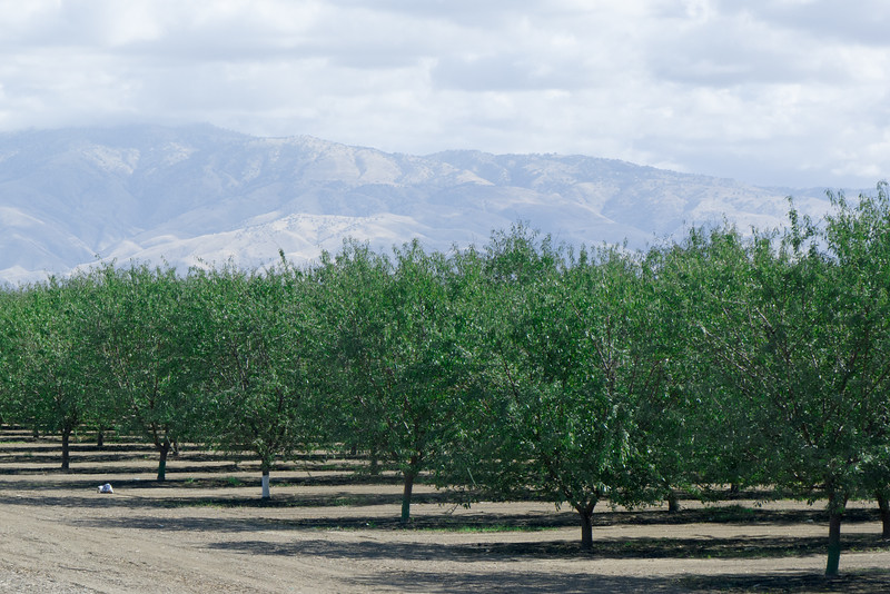 Almond Trees South Of Bakersfield