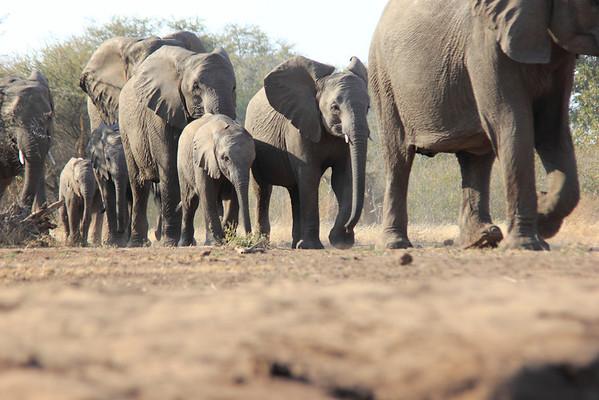 Elephant Hide Mashatu Botswana 2013