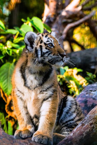 Amur Tiger - Amurintiikeri - Panthera tigris altaica