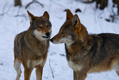 Red Wolf Pair #2
