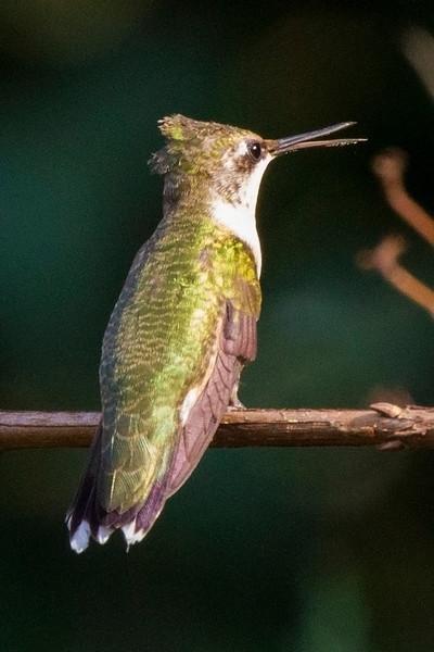 hummingbirdsittingonastick4.jpg