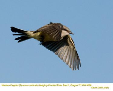 WesternKingbirdJ3086.jpg