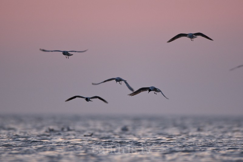 Black-headed Gulls hover over a sea in pre-dawn light