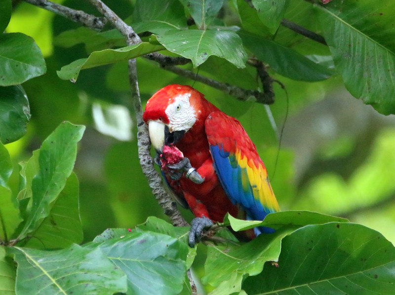 Colorful Red Macaws (ara macao)