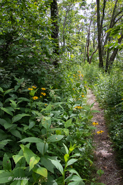 Black-eyed Susan and more Poke Milkweed on this part of the trail.
