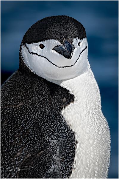J85_6217 Chinstrap Penguin crop LPTr1W.jpg