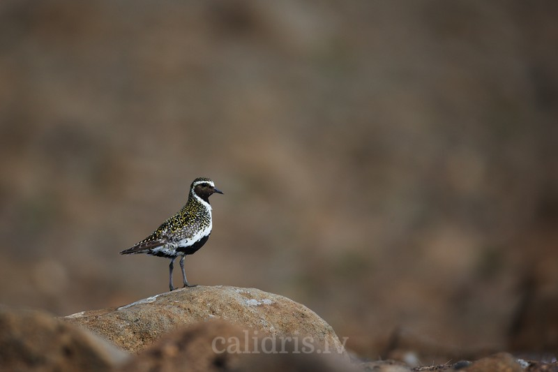 European Golden Plover stands on a rock