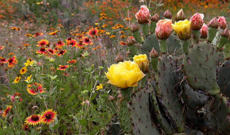 Cactus and Indian Blanket.JPG