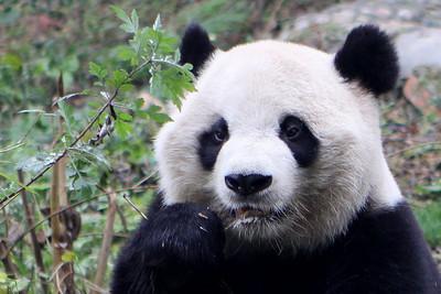 Chengdu Panda Center Winter 2009