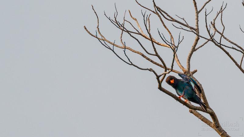 Oriental Dollarbird.jpg